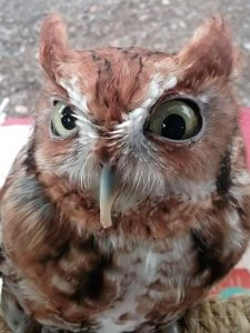 Rebel the Screech Owl
